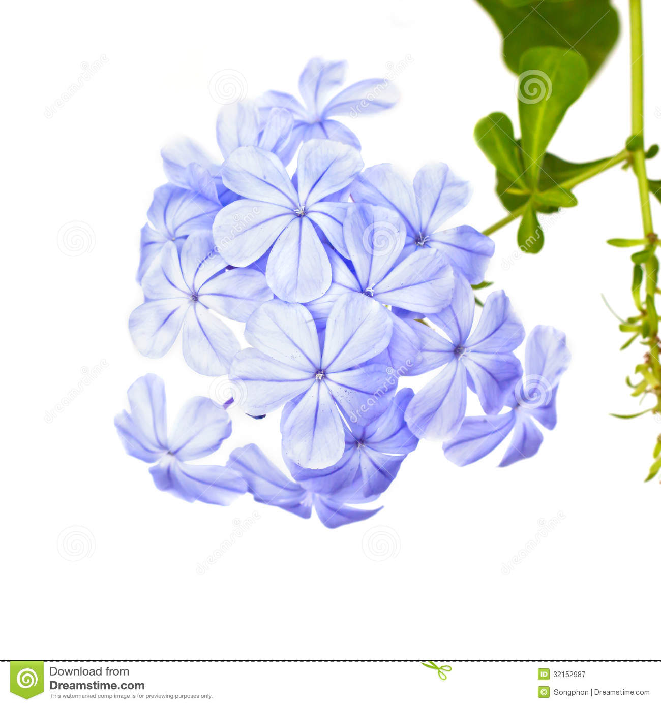 Plumbago Auriculata Lam Flower Royalty Free Stock Photography.