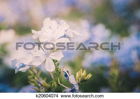 Stock Photo of Plumbago Auriculata vintage k20604074.