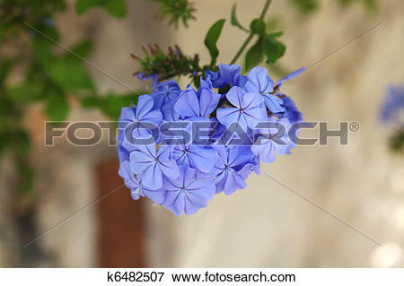 Picture of Plumbago auriculata k6482507.