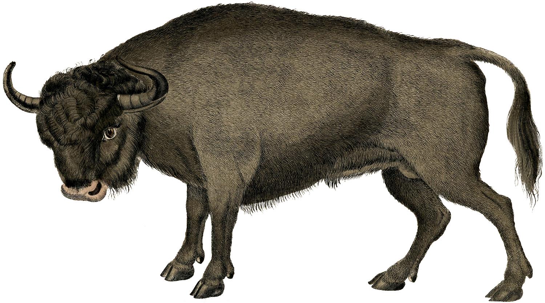 Vintage Bull Image.