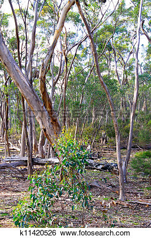 Stock Images of Australian Bush Scene. Eucalyptus Trees at Kelly.