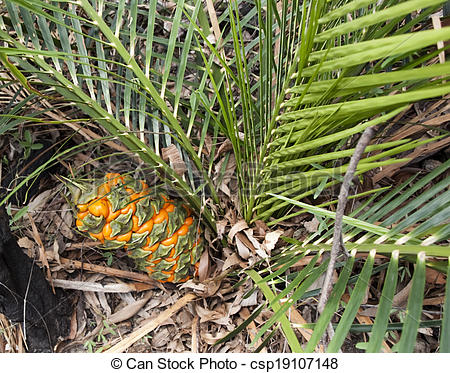 Stock Photo of Australian cycad Macrozamia miquelii with fruit in.