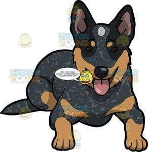 A Cute Australian Cattle Dog.