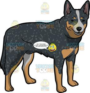 A Charming Australian Cattle Dog.