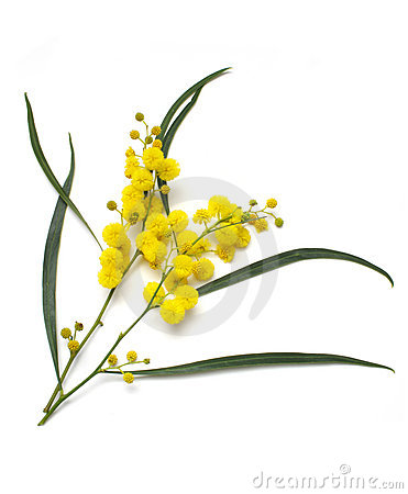 Wattle flower clipart.