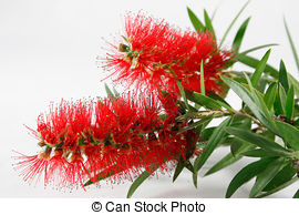 Stock Image of red flowers eucalyptus summer red australian native.