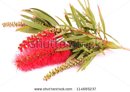 Australian Red Bottle Brush Flowers Stock Vector 513876703.