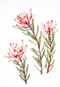 australian native flowers watercolour.