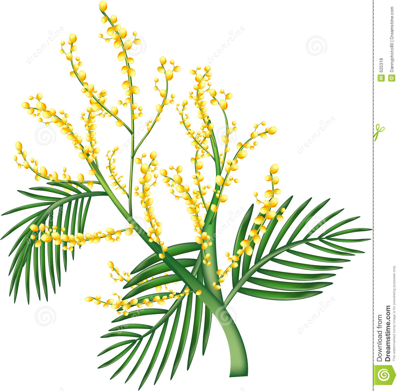 Australian Wattle Royalty Free Stock Photos.