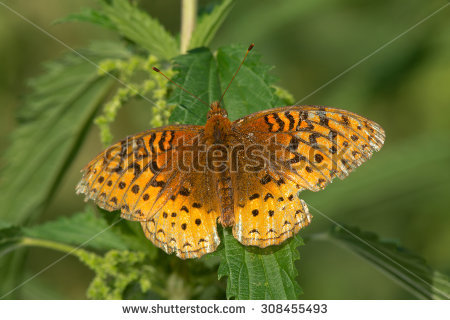 Canadian Butterflies Stock Photos, Royalty.