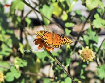 Fritillary butterfly.