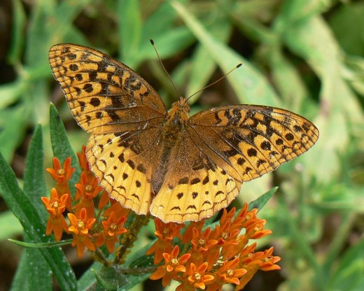 Butterflies of Oklahoma: Ten Beautiful Species And How To Attract.