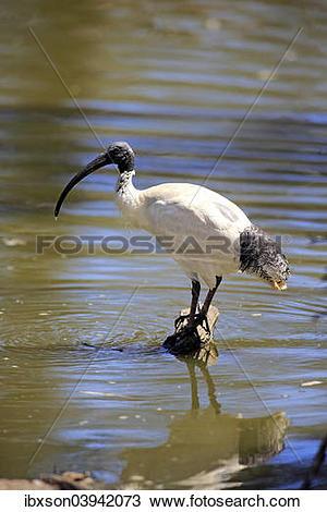 """Stock Photo of """"Australian White Ibis (Threskiornis molucca."""