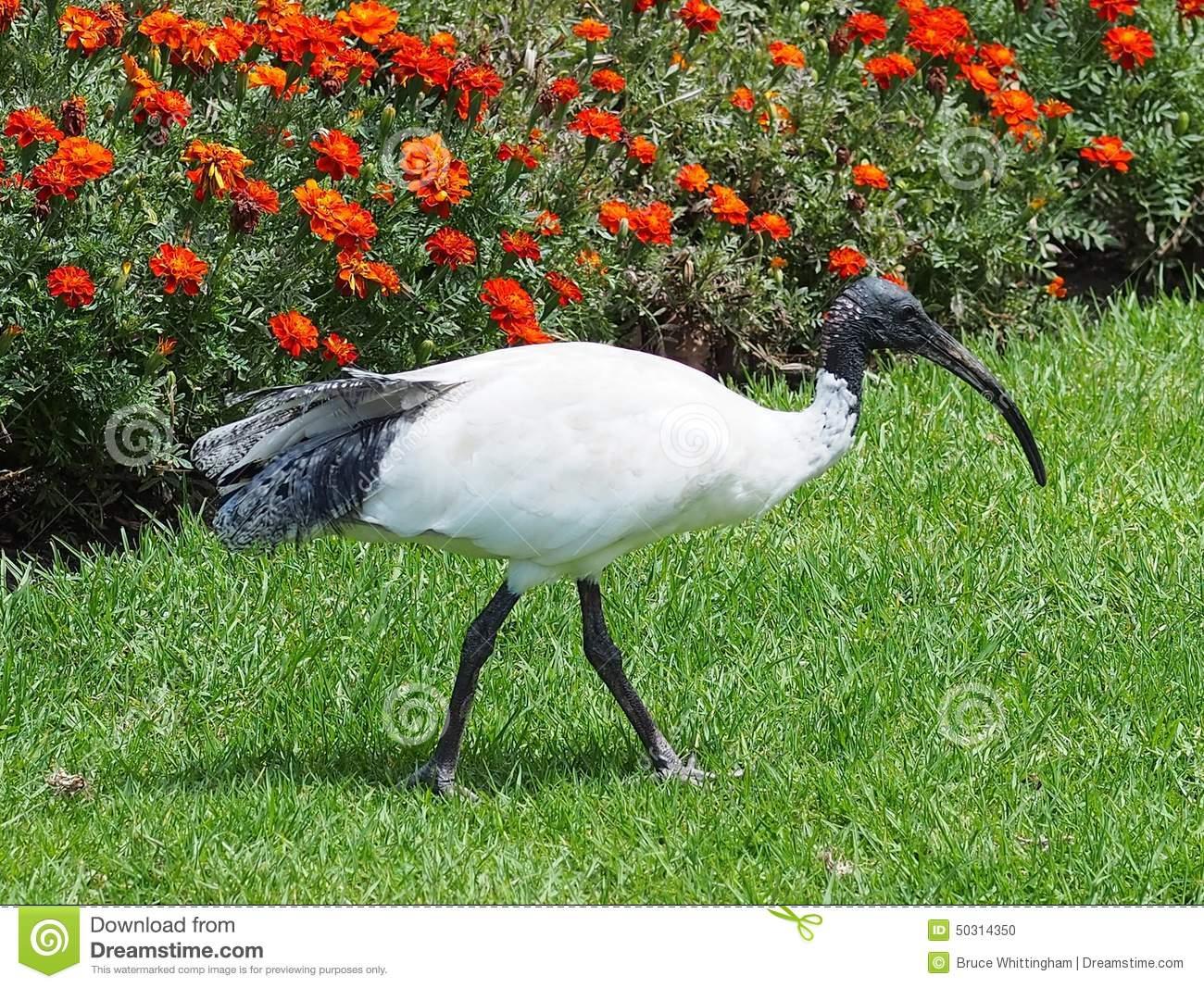 Australian White Ibis Stock Photo.
