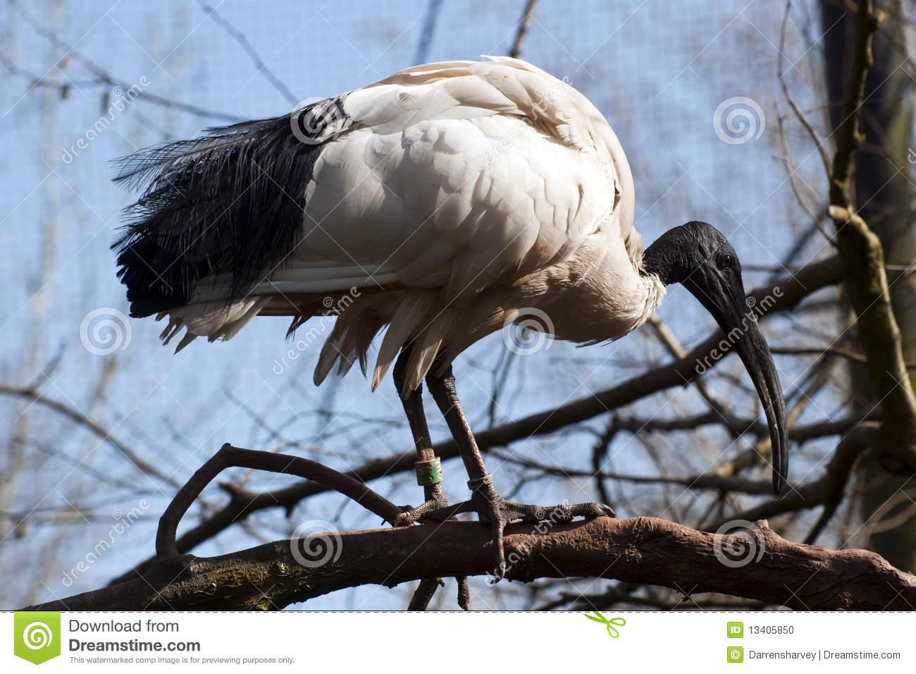 Ugly Bird With A Very Long Beak.