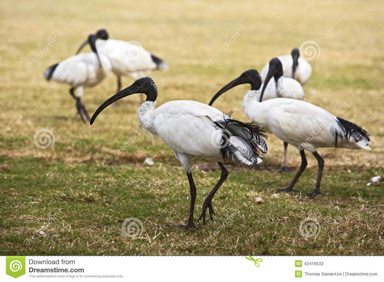 Flock Of Australian White Ibis Stock Photo.