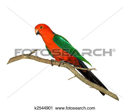 Stock Photography of red headed king parrot Alisterus scapularis.