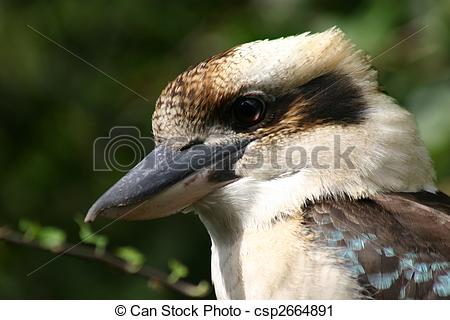 Stock Photography of A kookaburra. A native Australian bird famous.
