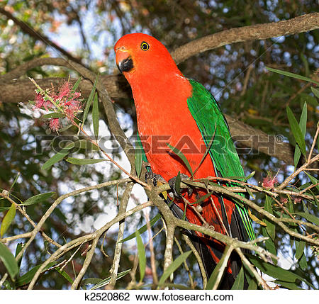 Stock Photo of red headed king parrot Alisterus scapularis.