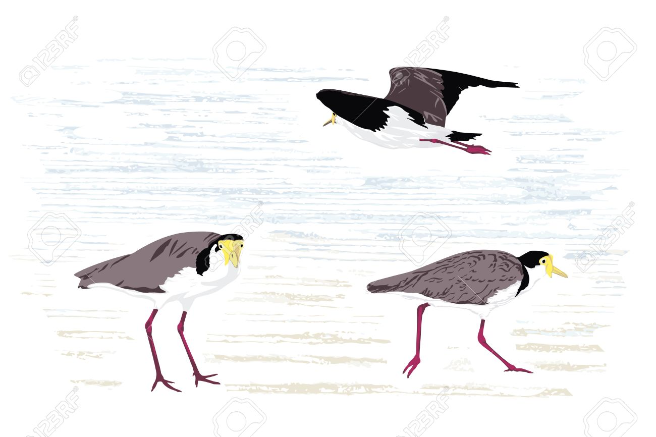 Masked Lapwing (Masked Plover), Native To Australia; Illustration.