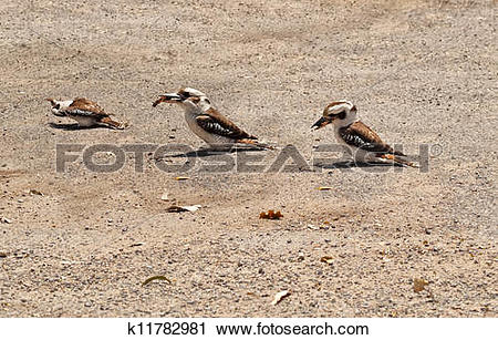 Stock Photography of Kookaburras Australian native bird wildlife.
