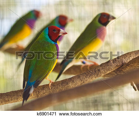Stock Photography of Australian gouldian finch native birds of.
