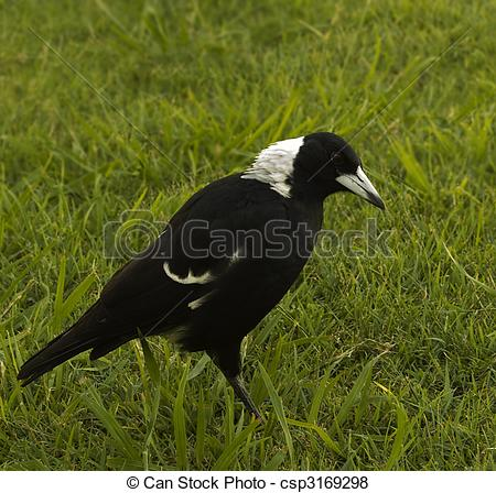 Pictures of Magpie Gymnorhina tibicen Australian native bird.