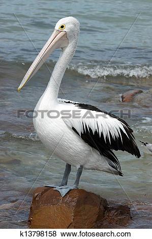 Pictures of Australian Pelican, Kangaroo Island k13798158.