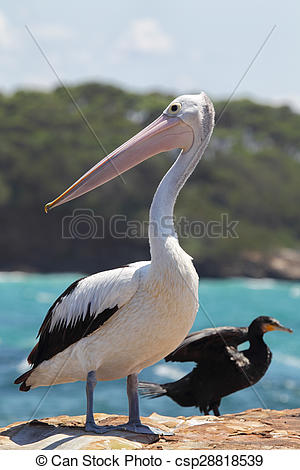 Stock Photos of Australian Pelican (Pelecanus conspicillatus.