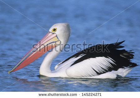 Australian Pelican Stock Photos, Royalty.
