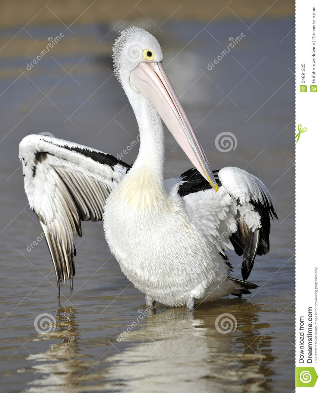 Australian Pelican, White Bird, Australia Royalty Free Stock Photo.