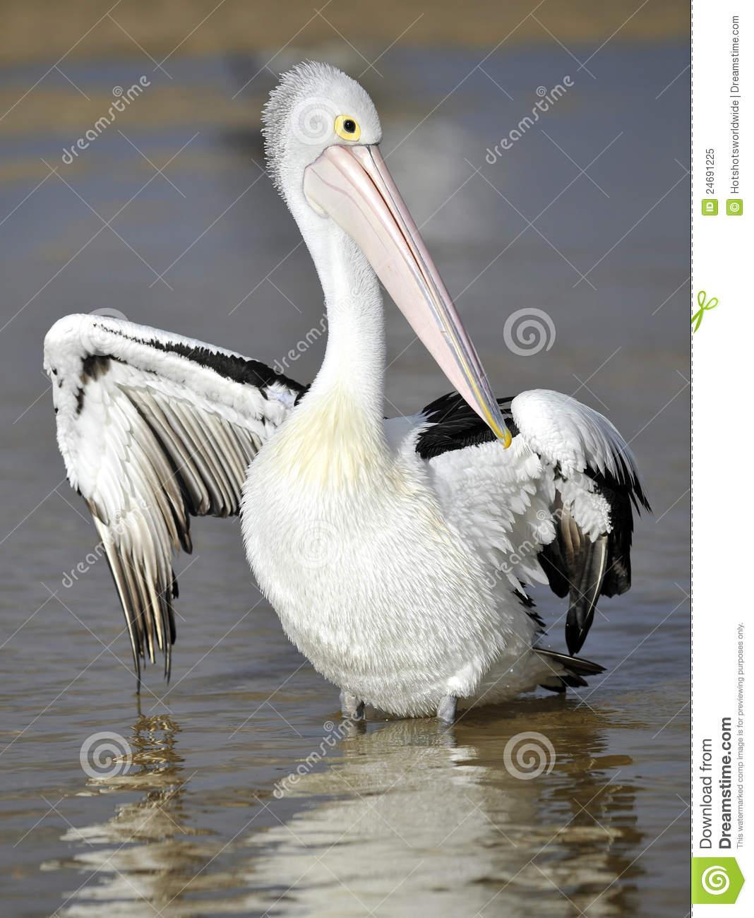 Australian Pelican, White Bird, Australia Royalty Free Stock Photo.
