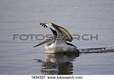 Picture of Australian Pelican landing on water, Pelecanus.