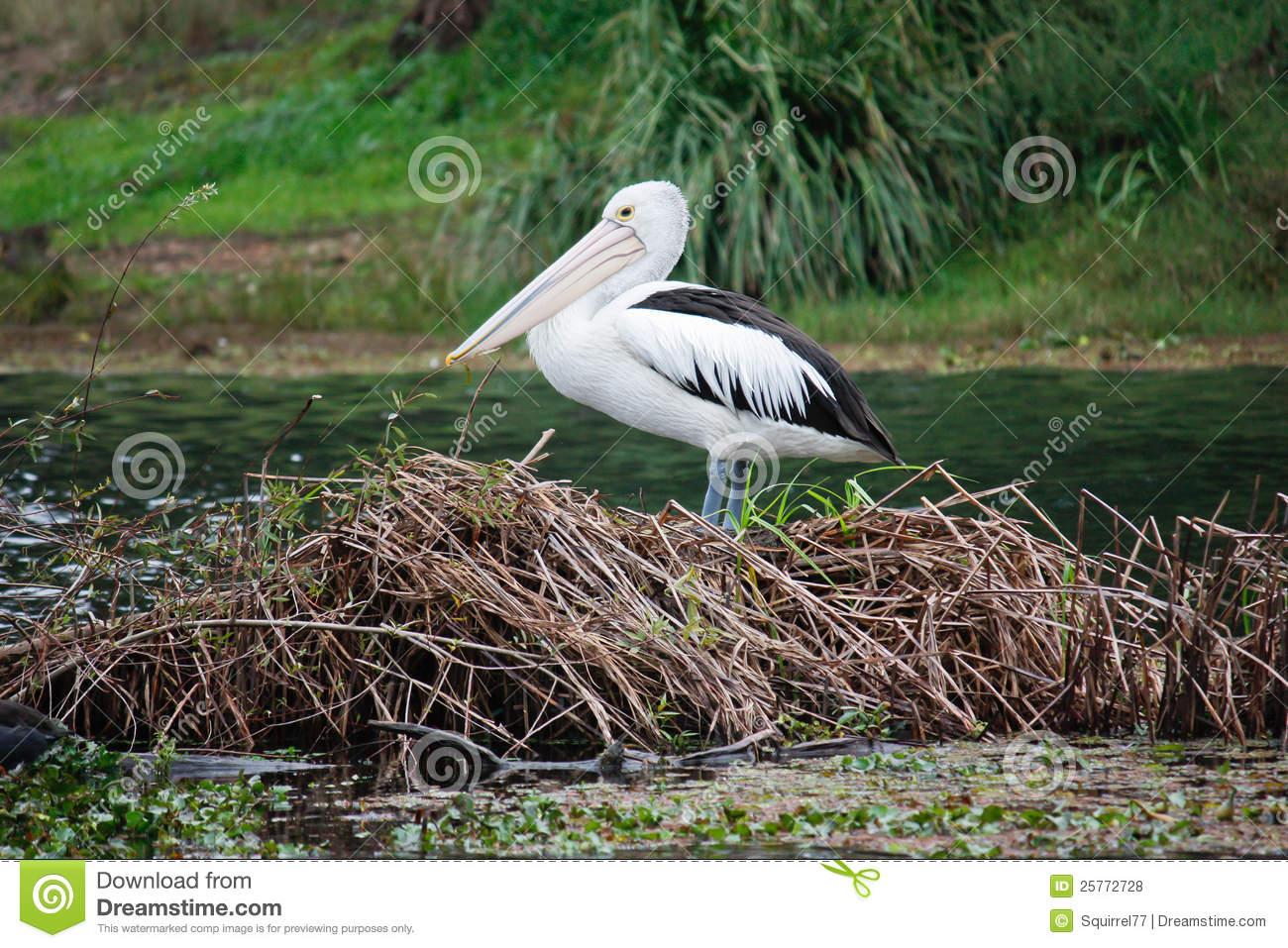 Australian Pelican On Island Nest Royalty Free Stock Photos.