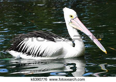 Stock Images of Australian pelican k6390776.