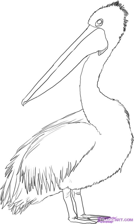 how to draw an australian pelican step 4.