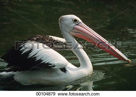 Stock Photograph of Pelecanus, Australian pelican, Pelecanidae.