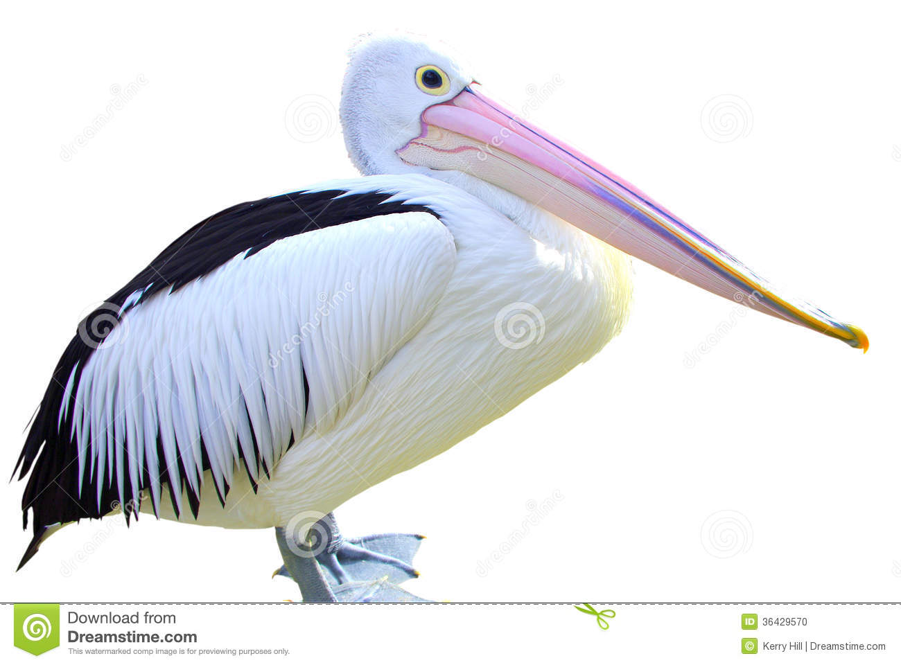 Australian Pelican Stock Photo.