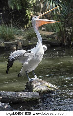 """Stock Images of """"Australian Pelican (Pelecanus conspicillatus."""