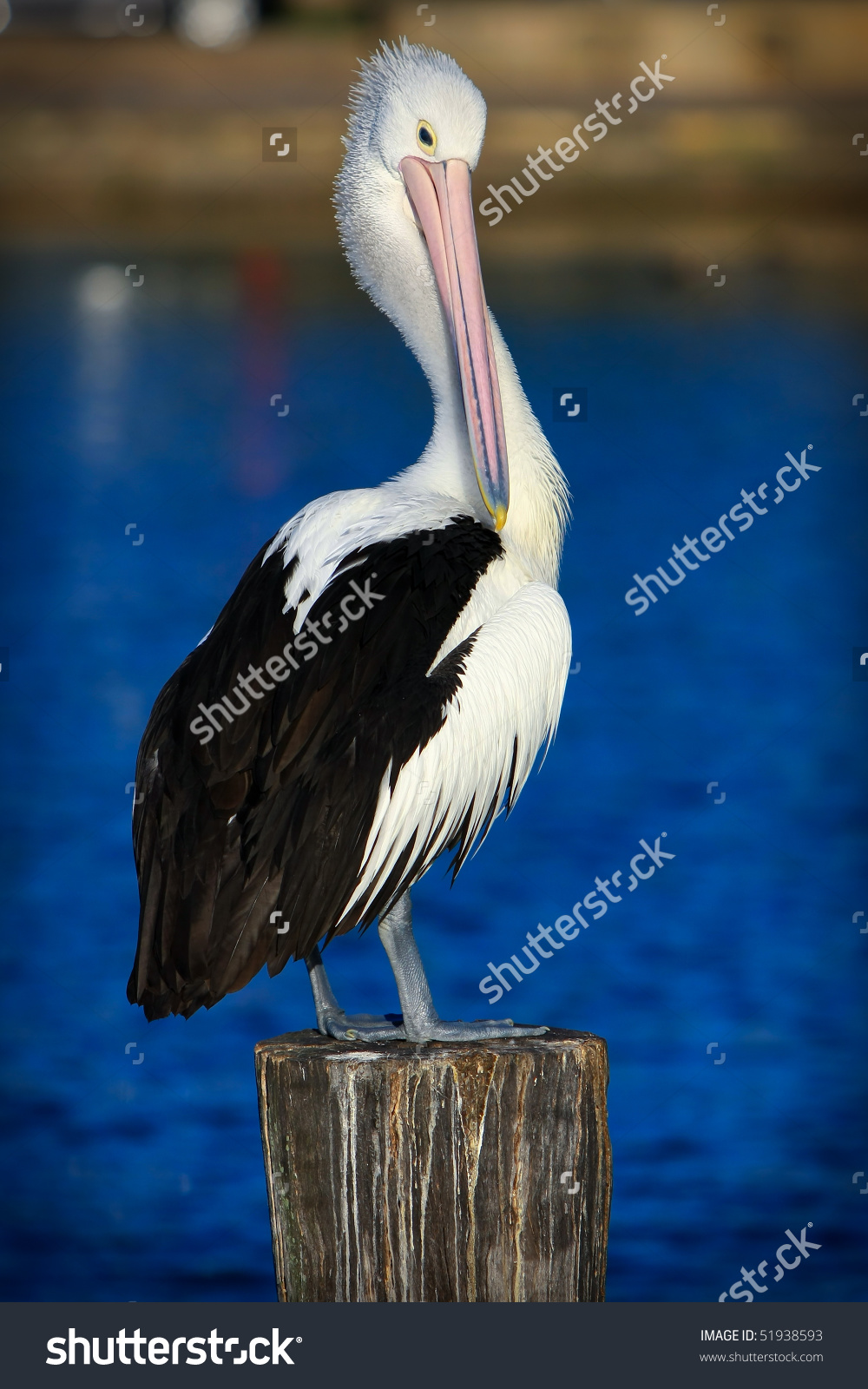 Australian Pelican On A Post, Over A Lake. Stock Photo 51938593.