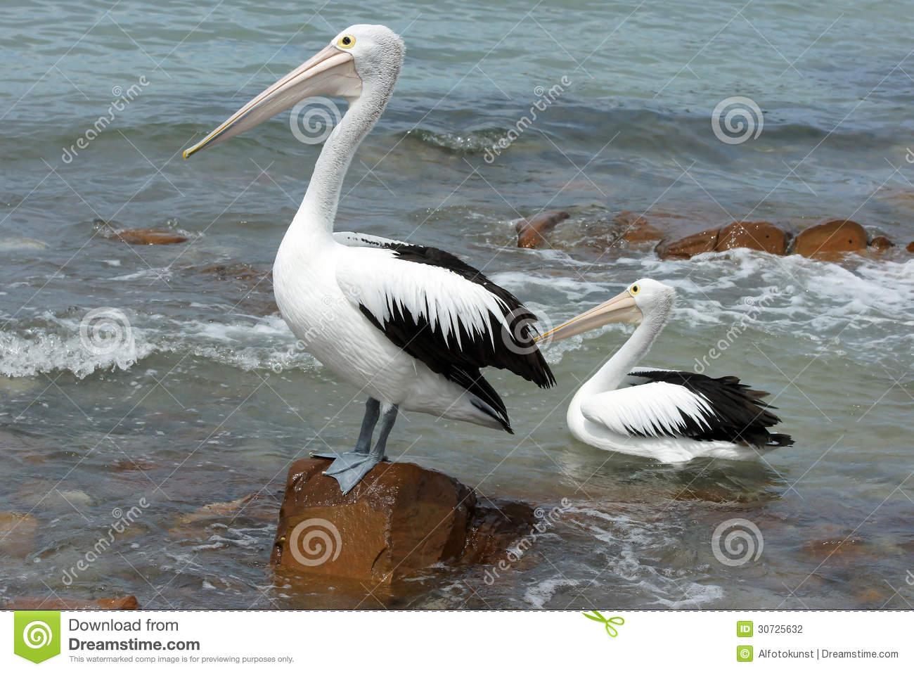 Australian Pelican, Kangaroo Island Stock Photography.