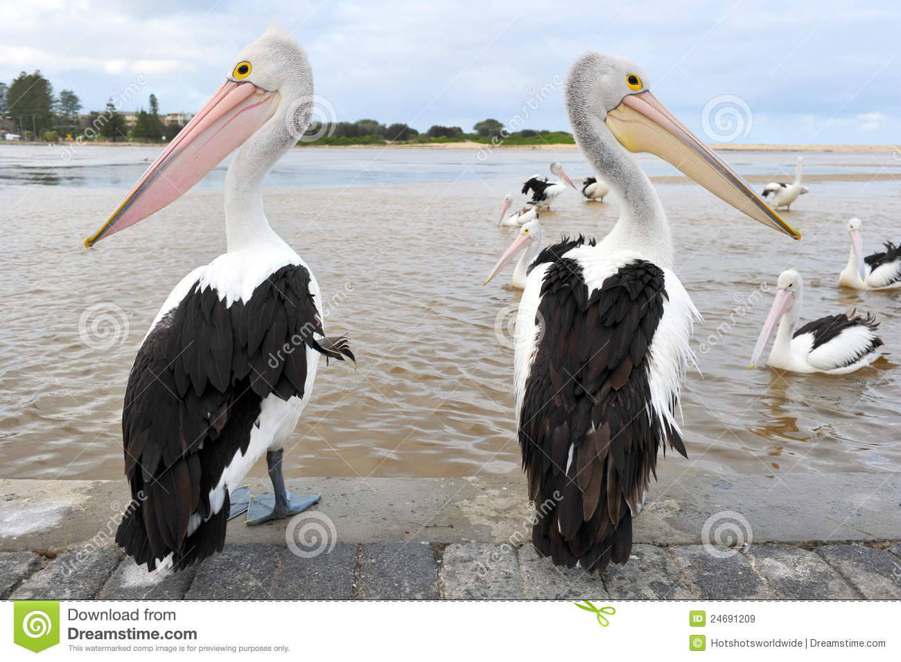 Australian Pelican Stock Photos, Images, & Pictures.
