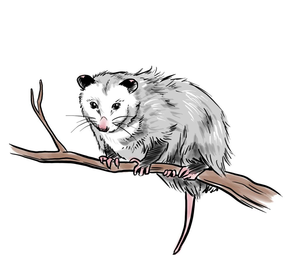 How to Draw an Opossum 5 in 2019.