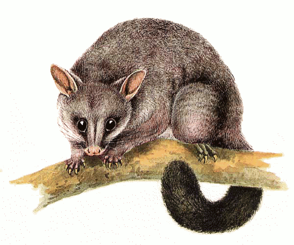 PNG Possum Transparent Possum.PNG Images..