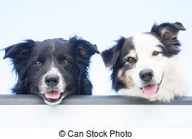 Stock Photo of Australian shepherd dog sitting and sticking out.