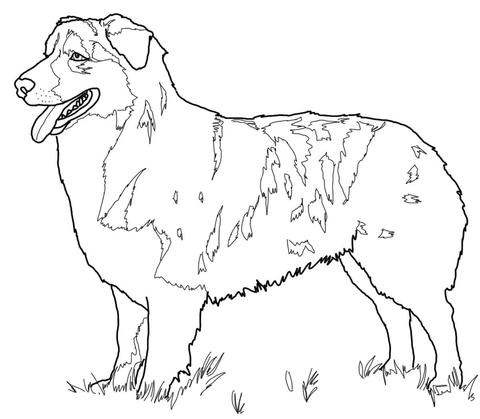 Australian Shepherd coloring page.