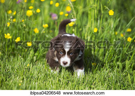 Pictures of Miniature American Shepherd or Miniature Australian.