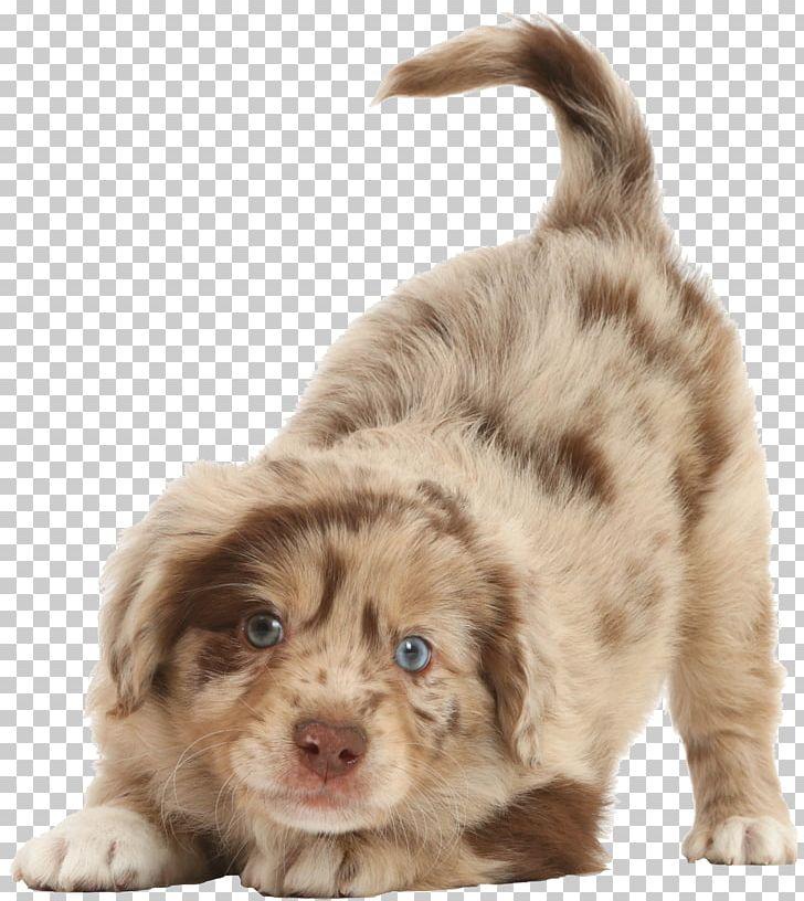 Miniature American Shepherd Dog Breed Australian Shepherd.
