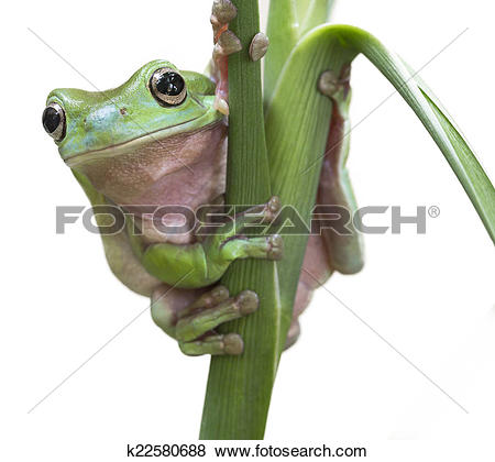 Pictures of Australian Green Tree Frog k22580688.