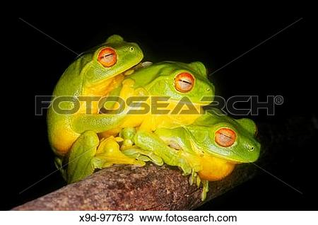 Stock Photo of Three Red Eyed Green Tree Frogs, Litoria chloris.